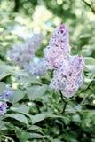 De natuurlijke lilac boom van de schoonheidslentetijd Royalty-vrije Stock Afbeeldingen