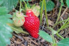 De natuurlijke, organische aardbeien met groene bladeren die in een huisaardbei ontspruiten tuinieren Natuurlijke groene Achtergr stock fotografie