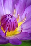 De natuurlijke purpere close-up van de kleurenlotusbloem Stock Fotografie
