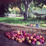 De Natuurlijke Staat van de mango Stock Foto
