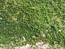 De natuurlijke textuur van de grasmuur Royalty-vrije Stock Afbeeldingen