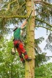 De Nederlandse boomdeskundige hangt en snoeit in spar royalty-vrije stock afbeelding