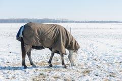 De Nederlandse winter met sneeuwdiegebied en paard met deken wordt behandeld Stock Afbeeldingen