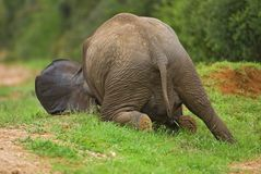 De Neerstorting van de olifant Stock Foto