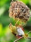 De nestbouw Royalty-vrije Stock Fotografie