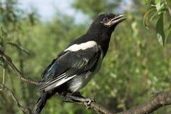 De nestvogel van de ekster Royalty-vrije Stock Afbeelding
