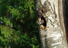 De nestvogel van de specht Stock Foto