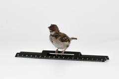 De nestvogelmus met een heerser wendde zich, geïsoleerd op witte bedelaars af Stock Foto