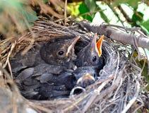 De nestvogels. Royalty-vrije Stock Fotografie