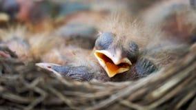 De nestvogels van de pasgeboren lijster slapen in een nest stock videobeelden