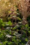 De netel Urtica groeit in een weide royalty-vrije stock foto