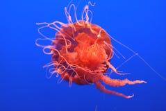 De Netel van de Zwarte Zee, Chrysaora-achlyos Royalty-vrije Stock Afbeelding