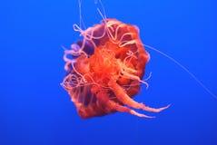 De Netel van de Zwarte Zee, Chrysaora-achlyos Royalty-vrije Stock Foto's