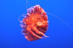 De Netel van de Zwarte Zee, Chrysaora-achlyos Stock Fotografie