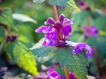 De netelbloemen kunnen mooi zijn royalty-vrije stock afbeelding