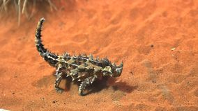De netelige draakhagedis eet een mier stock footage