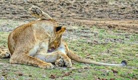 De netheid is de sleutel aan gezondheid De leeuwin van de Afrikaanse leeuw Het rusten na een hartelijke maaltijd Vage nadruk stock fotografie