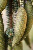 De nette boom van Noorwegen pinecones royalty-vrije stock foto's