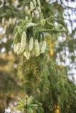 De nette boom van Noorwegen pinecones stock afbeelding