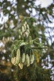 De nette boom van Noorwegen pinecones stock foto's