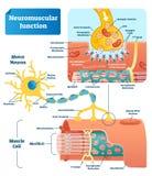 De neuromusculaire regeling van de verbindings vectorillustratie Geëtiketteerde infographic cel royalty-vrije illustratie