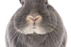 De neus, de wangen en de ogen van het grijze konijn (close-up) Royalty-vrije Stock Foto