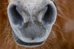 De neus dichte omhooggaand van het sneeuwpaard stock fotografie