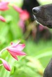 De neus van de hond met bloem Stock Foto's