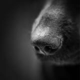De neus van de hond over zwarte stock fotografie