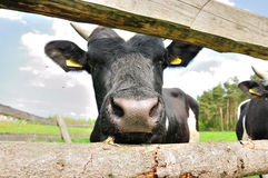 De neus van de koe Royalty-vrije Stock Fotografie
