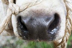 De neus van de koe Stock Fotografie