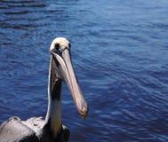 De Neus van de pelikaan Royalty-vrije Stock Afbeelding