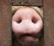 De Neus van het varken Stock Foto's