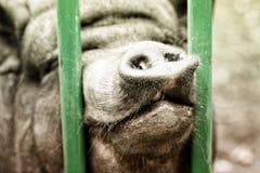 De Neus van het varken stock afbeeldingen