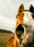 De neusclose-up van het paard Stock Afbeeldingen