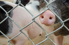 de neuzen van het varken royalty-vrije stock foto's
