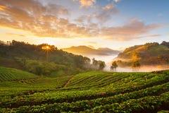 De nevelige ochtendzonsopgang in aardbeituin in Doi angk-hangt moun Royalty-vrije Stock Foto