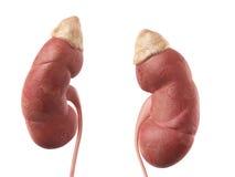 De nier stock illustratie