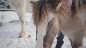 De niet erkende mens strijkt snuit aanbiddelijke kleine poney bij boerderij dichte omhooggaand Concept het paardfokken stock videobeelden