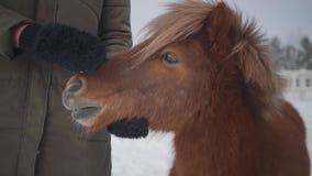 De niet erkende vrouw strijkt snuit aanbiddelijke kleine poney bij boerderij dichte omhooggaand Het meisje in warme kleding breng stock video