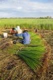 De niet geïdentificeerde landbouwers oogsten cyperusmalaccensis Stock Afbeeldingen