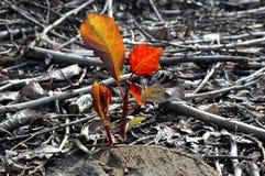 De nieuwe bladeren van de spruit Stock Foto's