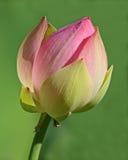 De nieuwe Bloei van Lotus Royalty-vrije Stock Foto's