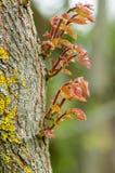 De nieuwe groei op een oude eiken boomstam Stock Foto