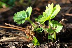 De nieuwe groei van groene aardbeibladeren in de lente royalty-vrije stock foto's