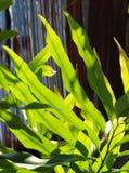 De nieuwe jonge lichte kleurrijke groene oranjegele bladeren van de kleurenvaren Stock Afbeeldingen