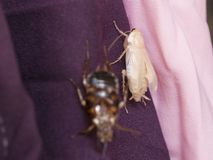 De nieuwe kakkerlak die is nog wit ruien royalty-vrije stock afbeeldingen