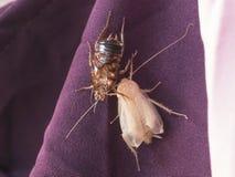 De nieuwe kakkerlak die is nog wit ruien royalty-vrije stock foto