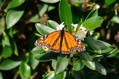 De nieuwe monarch die van de seizoenenvlinder ` s me laten beelden nemen stock fotografie