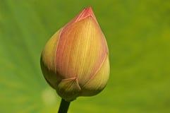 De nieuwe spruit van Lotus Stock Foto